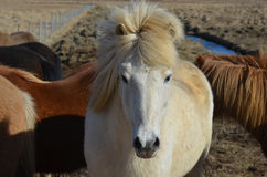 White Icelandic Horse Standing in a Herd. Gorgeous wind blown white Icelandic horse with his forelock standing straight up Royalty Free Stock Image