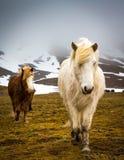 White Icelandic horse walks towards camera royalty free stock photo