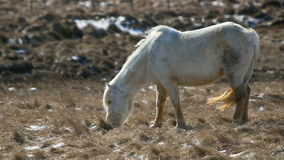 White Icelandic horse withstands the rough wind on a meadow stock video