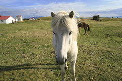 White Icelandic pony Stock Images