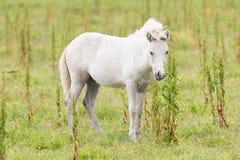 White Icelandic pony Royalty Free Stock Images