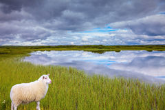 White Icelandic sheep grazing in the meadow Royalty Free Stock Photo