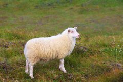 White Icelandic sheep Royalty Free Stock Photo
