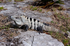 White Iguana Royalty Free Stock Image