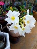White Impala Lily stock image