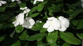 White Impatiens stock video