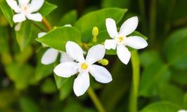 White Inda flower. In the garden Stock Images
