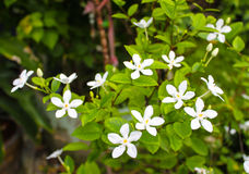 White Inda flower. In thailand Royalty Free Stock Photography