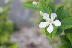 White Inda flower. Wringhtia antidysenterica R.Br Royalty Free Stock Image