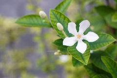 White Inda flower. Wringhtia antidysenterica R.Br Stock Image