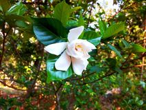 White indian flower hanging on the branch royalty free stock photo
