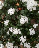 White indian flowerName-Panch pati ful means five leafed flower