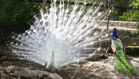 White and Indian peafowls (Pavo cristatus) Royalty Free Stock Images
