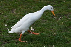 White Indian Runner Duck (Anas Platyrhynchos Domesticus) royalty free stock images