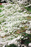 White inflorescence of the spiraea bush. On a green background Royalty Free Stock Images