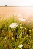 White inflorescence of wild plants Daucus carota, wild carrot on the field. Hungary. Vertical photo stock photo