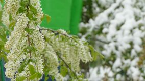 White inflorescences freeze during a snowfall. White small clusters of inflorescence freeze during a snowfall in the spring stock video