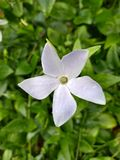 White Intermediate Periwinkle Amongst Leaves Stock Photography