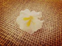 White ipe flower. White ipe tree, white trumpet tree, lapacho blanco or ipê branco  - White Ipe, Tabebuia roseoalba, Bignoniaceae tree originating in Brazil and Stock Photography