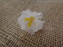 White ipe flower. White ipe tree, white trumpet tree, lapacho blanco or ipê branco  - White Ipe, Tabebuia roseoalba, Bignoniaceae tree originating in Brazil and Royalty Free Stock Images
