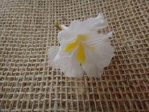 White ipe flower. White ipe tree, white trumpet tree, lapacho blanco or ipê branco  - White Ipe, Tabebuia roseoalba, Bignoniaceae tree originating in Brazil and Stock Photo