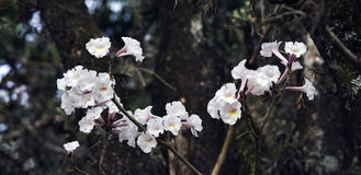 White Ipe tree in bloom Royalty Free Stock Images