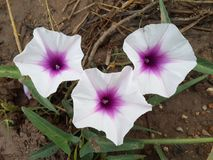 White Ipomoea aquatica Forsk flower in nature garden royalty free stock images