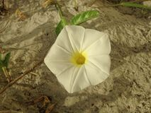 White Ipomoea Pes-caprae (Beach Morning Glory) Blossoming in Sand Dunes. Stock Photo