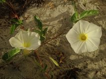 White Ipomoea Pes-caprae (Beach Morning Glory) Blossoming in Sand Dunes. White Ipomoea Pes-caprae (Bayhops, Beach Morning Glory, Goat's Foot) Blossoming in Sand Stock Photography