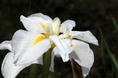 White Iris Royalty Free Stock Photos