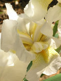 White Iris Royalty Free Stock Photos