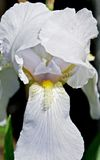 White Iris. Iris flower lit the sun. Its petals are incredibly beautiful and tender Royalty Free Stock Photos