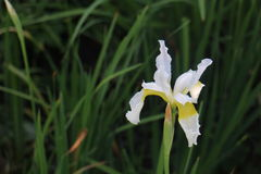 White iris Stock Photos
