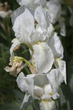 White iris Royalty Free Stock Image