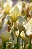 White iris flower Stock Images