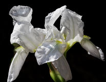 White Iris Flower Stock Images