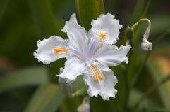 White iris flower in bloom Stock Photo