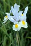 White Iris flower Stock Photography