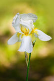 White Iris flower Stock Photos
