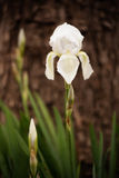 White iris flower. Spring flower in the garden. Alone iris Royalty Free Stock Photos