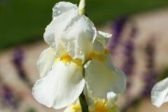 A white iris flower Royalty Free Stock Photos
