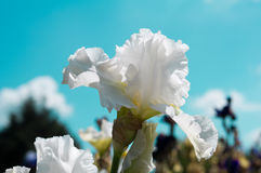 White iris Stock Photography