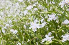 White iris on the flowerbed Royalty Free Stock Photos