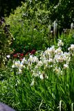 White iris flowers blooming on the garden background.  royalty free stock photos