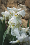 White iris flowers. Blooming white iris flowers in the garden in spring Stock Images
