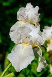 White iris flowers in the summer garden Royalty Free Stock Image