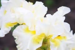 White Iris in a garden Stock Images
