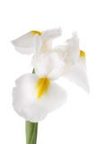 White iris Stock Images