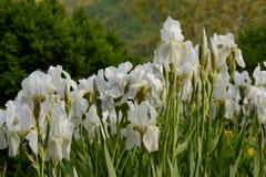 White Iris Stock Photo