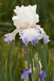 White iris. After the rain Royalty Free Stock Photos
